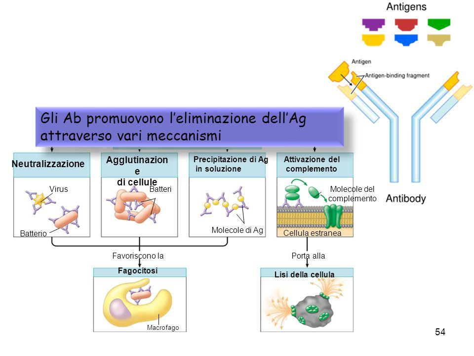 sistema immunitario54 Neutralizzazione Agglutinazion e di cellule Precipitazione di Ag in soluzione Attivazione del complemento Lisi della cellula Fag