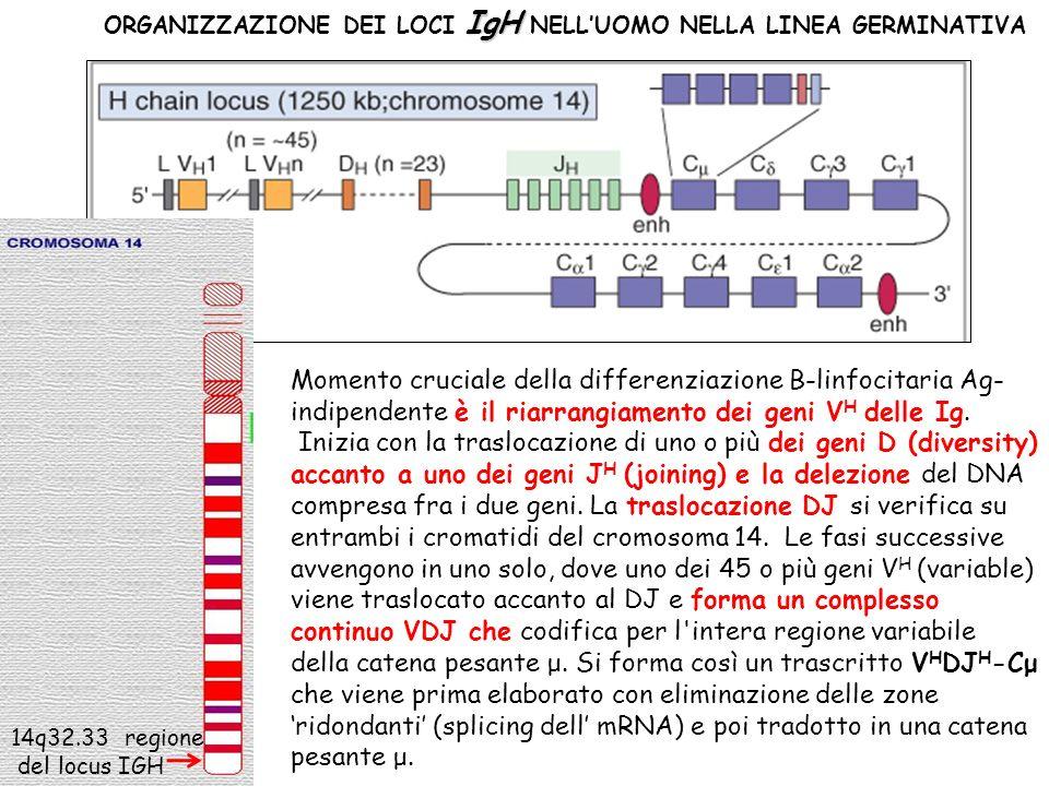 IgH ORGANIZZAZIONE DEI LOCI IgH NELLUOMO NELLA LINEA GERMINATIVA Momento cruciale della differenziazione B-linfocitaria Ag- indipendente è il riarrang