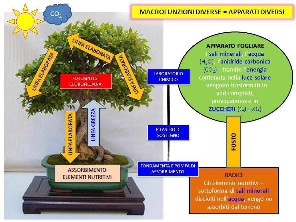 ASSORBIMENTO ELEMENTI NUTRITIVI LINFA GREZZA RADICI Gli elementi nutritivi – sottoforma di sali minerali disciolti nell acqua, vengo no assorbiti dal terreno APPARATO FOGLIARE I sali minerali, l acqua (H 2 O), lanidride carbonica (CO 2 ) - tramite lenergia contenuta nella luce solare - vengono trasformati in vari composti, principalmente in ZUCCHERI (C 6 H 12 O 6 ) FUSTO MACROFUNZIONI DIVERSE = APPARATI DIVERSI FOTOSINTESI CLOROFILLIANA CO 2 LABORATORIO CHIMICO FONDAMENTA E POMPA DI ASSORBIMENTO PILASTRO DI SOSTEGNO LINFA ELABORATA