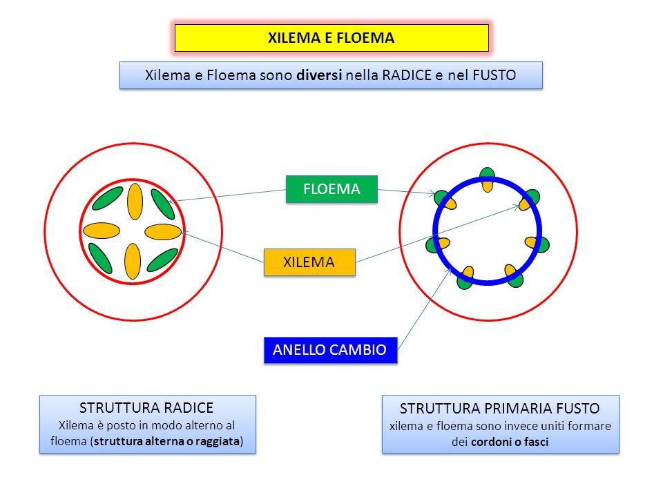 XILEMA E FLOEMA Xilema e Floema sono diversi nella RADICE e nel FUSTO STRUTTURA PRIMARIA FUSTO xilema e floema sono invece uniti formare dei cordoni o fasci STRUTTURA PRIMARIA FUSTO xilema e floema sono invece uniti formare dei cordoni o fasci STRUTTURA RADICE Xilema è posto in modo alterno al floema (struttura alterna o raggiata) STRUTTURA RADICE Xilema è posto in modo alterno al floema (struttura alterna o raggiata) XILEMA FLOEMA ANELLO CAMBIO