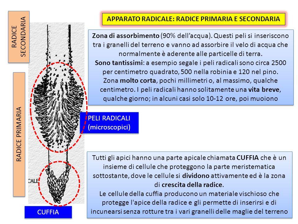 APPARATO RADICALE: RADICE PRIMARIA E SECONDARIA RADICE SECONDARIA RADICE PRIMARIA Zona di assorbimento (90% dellacqua).