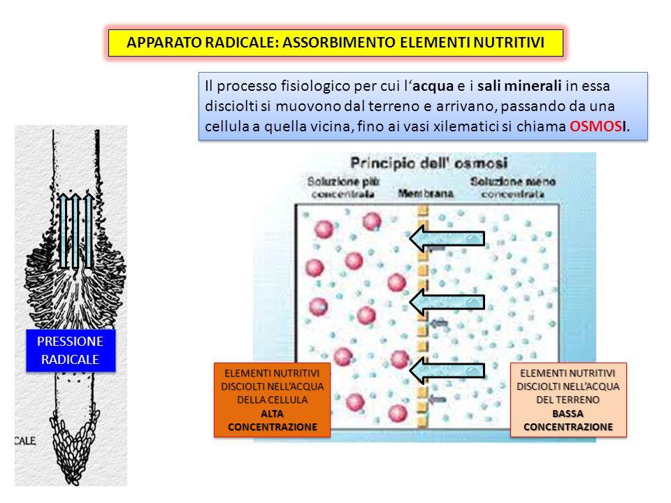 Il processo fisiologico per cui lacqua e i sali minerali in essa disciolti si muovono dal terreno e arrivano, passando da una cellula a quella vicina, fino ai vasi xilematici si chiama OSMOSI.