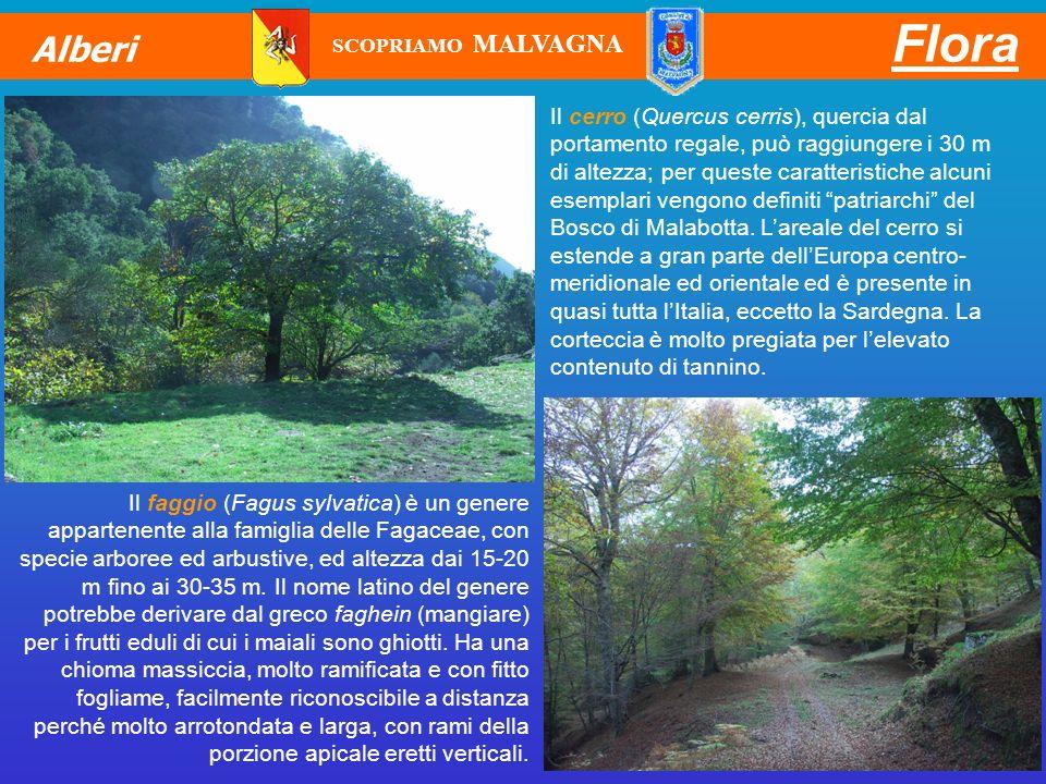 Il cerro (Quercus cerris), quercia dal portamento regale, può raggiungere i 30 m di altezza; per queste caratteristiche alcuni esemplari vengono defin