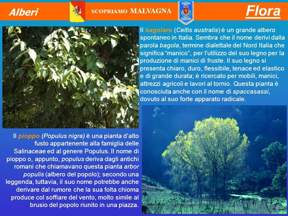 Il bagolaro (Celtis australis) è un grande albero spontaneo in Italia. Sembra che il nome derivi dalla parola bagola, termine dialettale del Nord Ital