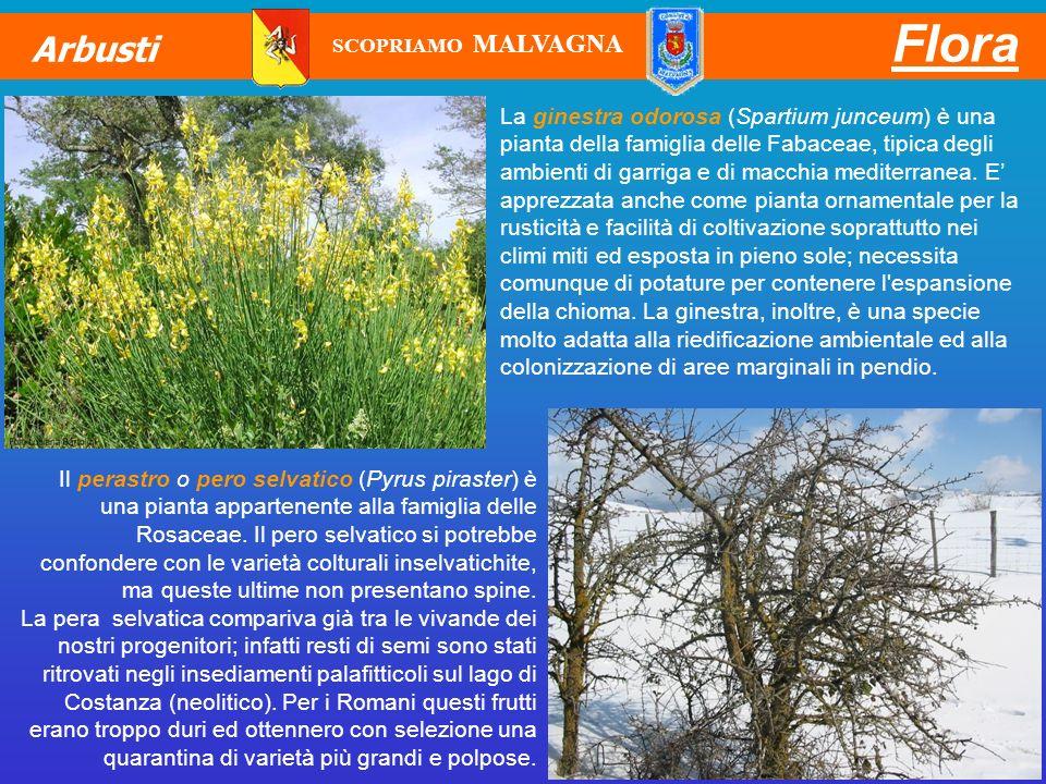 La ginestra odorosa (Spartium junceum) è una pianta della famiglia delle Fabaceae, tipica degli ambienti di garriga e di macchia mediterranea. E appre