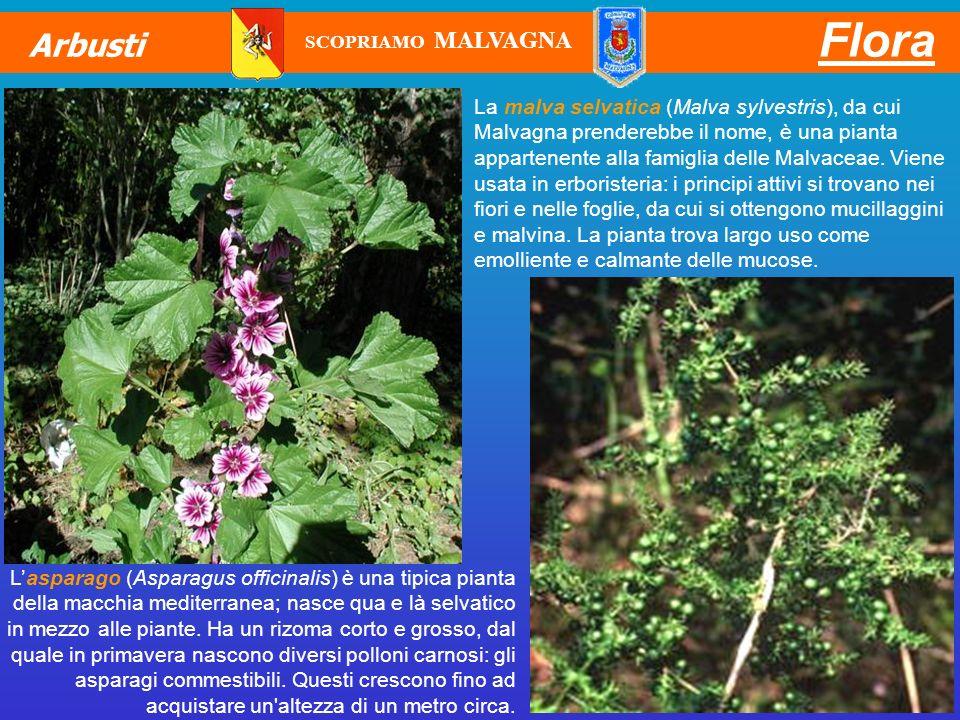 La malva selvatica (Malva sylvestris), da cui Malvagna prenderebbe il nome, è una pianta appartenente alla famiglia delle Malvaceae. Viene usata in er