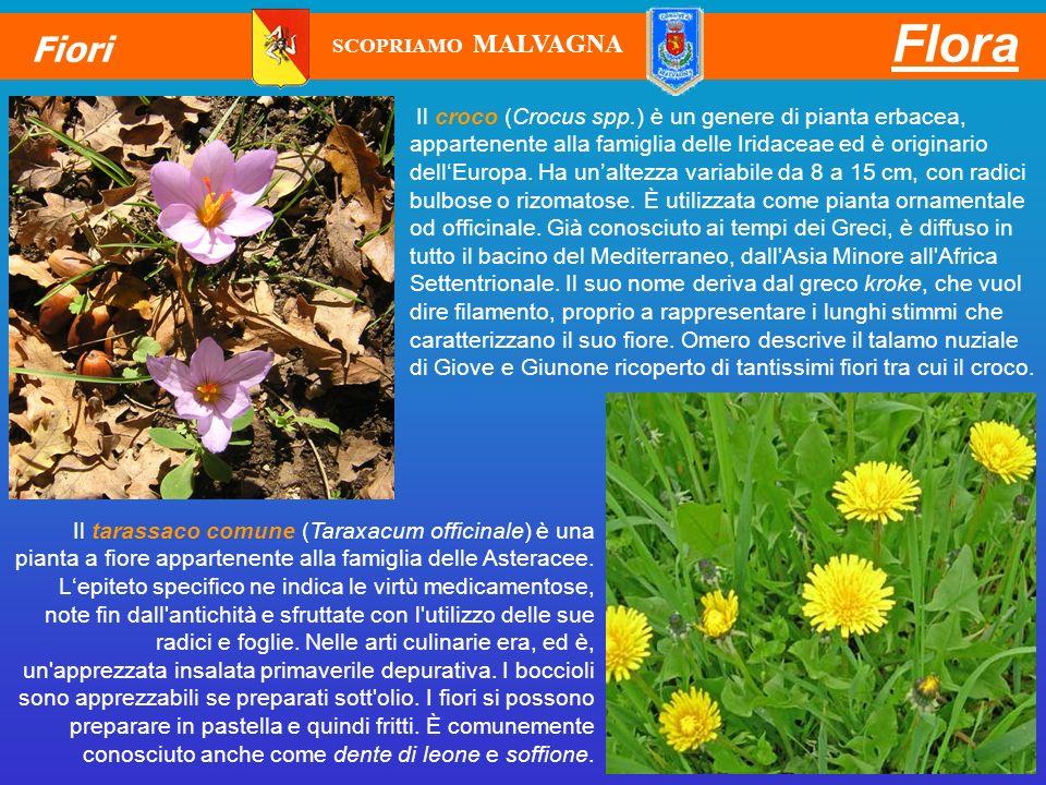 Il croco (Crocus spp.) è un genere di pianta erbacea, appartenente alla famiglia delle Iridaceae ed è originario dellEuropa. Ha unaltezza variabile da