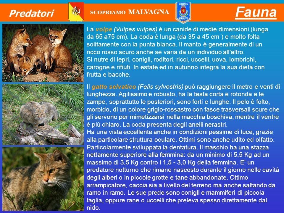 Fauna Predatori La volpe (Vulpes vulpes) è un canide di medie dimensioni (lunga da 65 a75 cm). La coda è lunga (da 35 a 45 cm ) e molto folta solitame