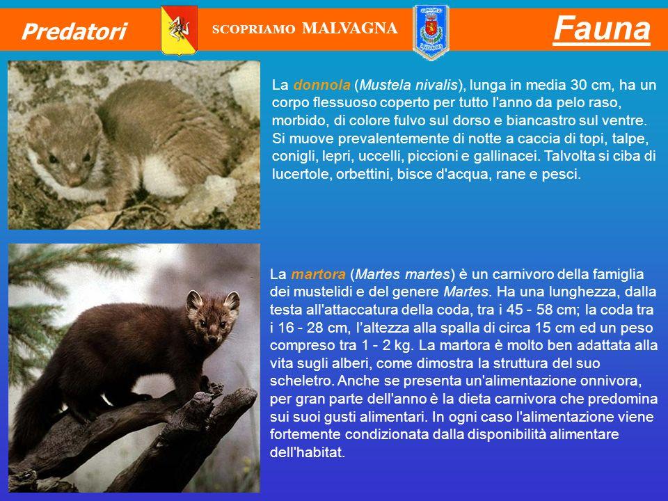 Fauna Predatori La donnola (Mustela nivalis), lunga in media 30 cm, ha un corpo flessuoso coperto per tutto l'anno da pelo raso, morbido, di colore fu