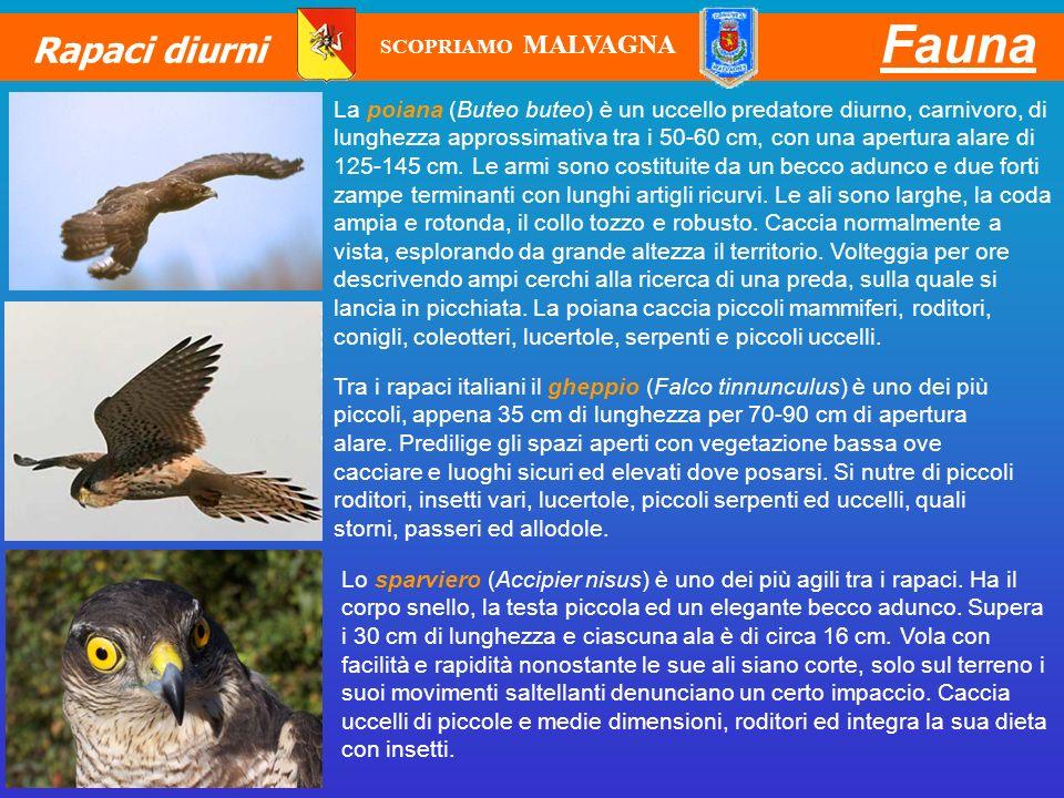 Fauna Rapaci diurni La poiana (Buteo buteo) è un uccello predatore diurno, carnivoro, di lunghezza approssimativa tra i 50-60 cm, con una apertura ala