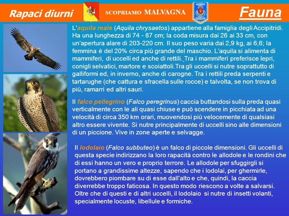 Fauna Rapaci diurni Il falco pellegrino (Falco peregrinus) caccia buttandosi sulla preda quasi verticalmente con le ali quasi chiuse e può scendere in