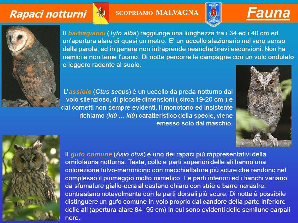Fauna Rapaci notturni Lassiolo (Otus scops) è un uccello da preda notturno dal volo silenzioso, di piccole dimensioni ( circa 19-20 cm ) e dai cornett