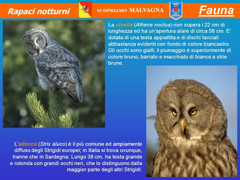 Fauna Rapaci notturni L'allocco (Strix aluco) è il più comune ed ampiamente diffuso degli Strigidi europei; in Italia si trova ovunque, tranne che in