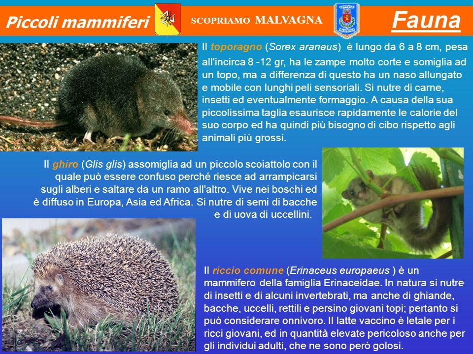 Fauna Piccoli mammiferi Il toporagno (Sorex araneus) è lungo da 6 a 8 cm, pesa all'incirca 8 -12 gr, ha le zampe molto corte e somiglia ad un topo, ma