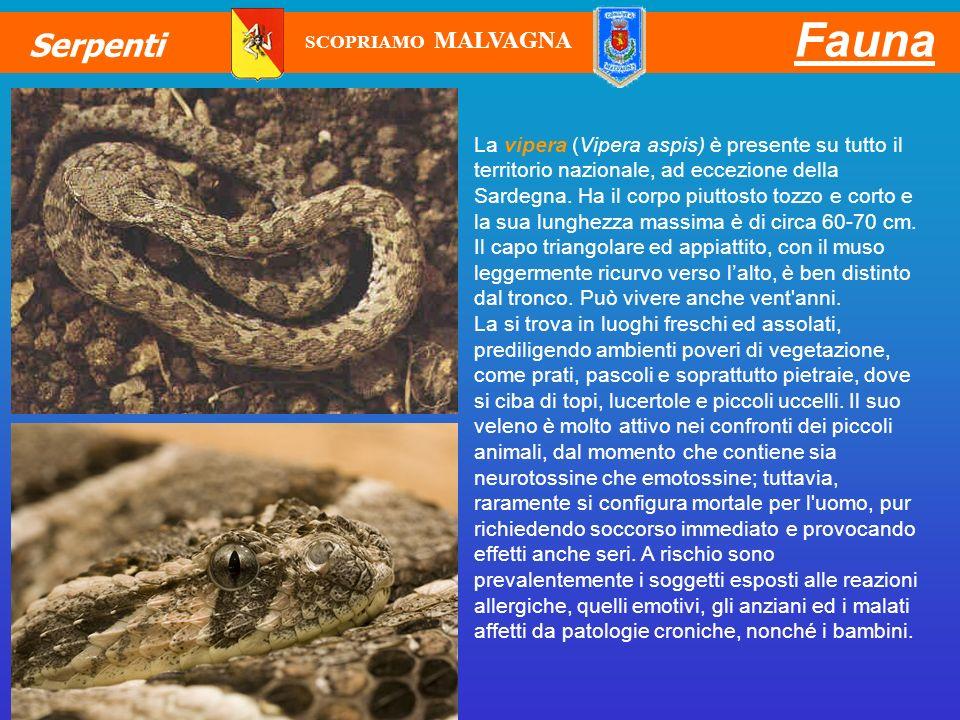 La vipera (Vipera aspis) è presente su tutto il territorio nazionale, ad eccezione della Sardegna. Ha il corpo piuttosto tozzo e corto e la sua lunghe