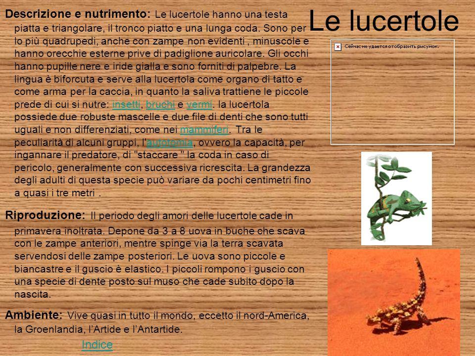 Le lucertole Descrizione e nutrimento: Le lucertole hanno una testa piatta e triangolare, il tronco piatto e una lunga coda.