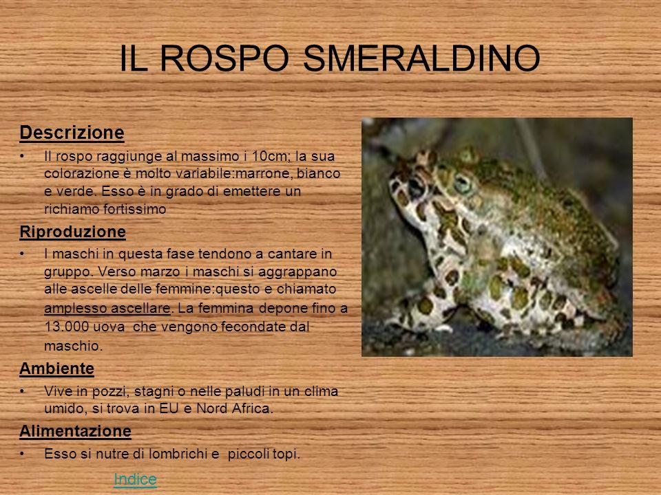 IL ROSPO SMERALDINO Descrizione Il rospo raggiunge al massimo i 10cm; la sua colorazione è molto variabile:marrone, bianco e verde.