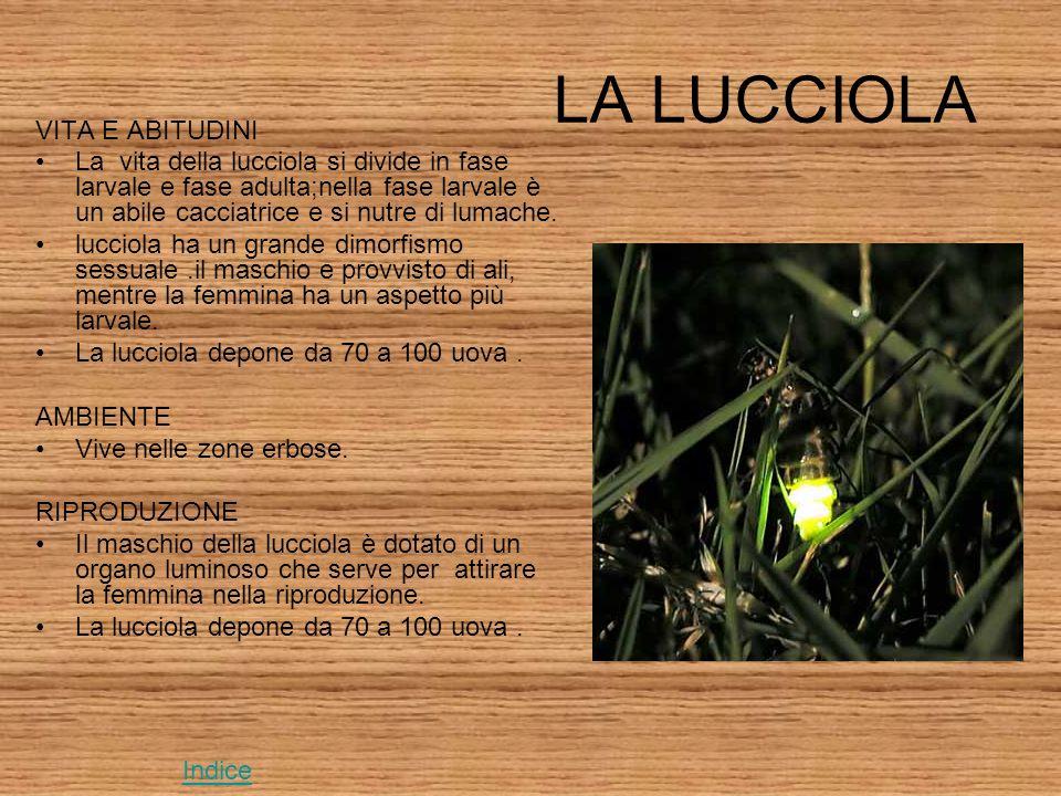 LA LUCCIOLA VITA E ABITUDINI La vita della lucciola si divide in fase larvale e fase adulta;nella fase larvale è un abile cacciatrice e si nutre di lumache.