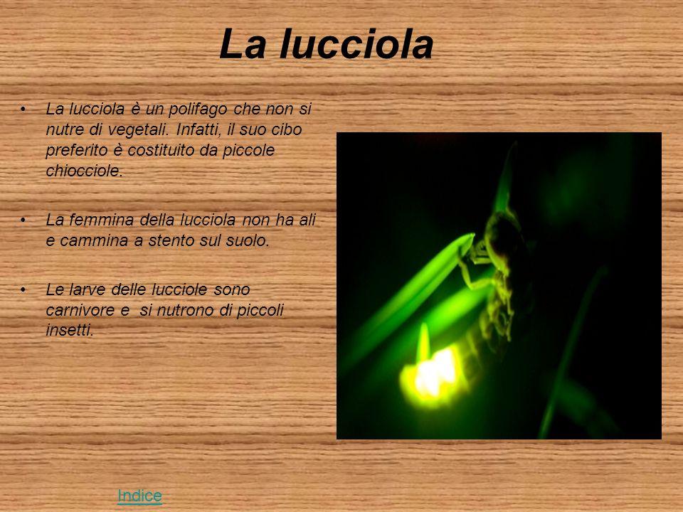 La lucciola La lucciola è un polifago che non si nutre di vegetali.
