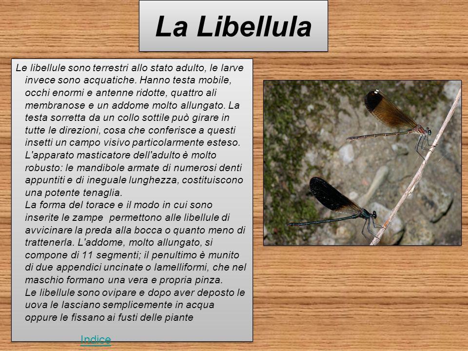 La Libellula Le libellule sono terrestri allo stato adulto, le larve invece sono acquatiche.