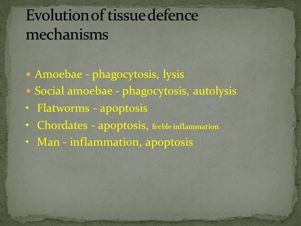 Amoebae - phagocytosis, lysis Social amoebae - phagocytosis, autolysis Flatworms - apoptosis Chordates - apoptosis, feeble inflammation Man - inflamma