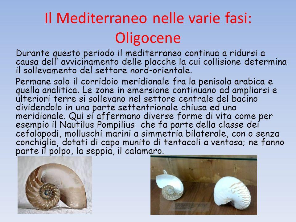 Il Mediterraneo nelle varie fasi: Oligocene Durante questo periodo il mediterraneo continua a ridursi a causa dell avvicinamento delle placche la cui collisione determina il sollevamento del settore nord-orientale.