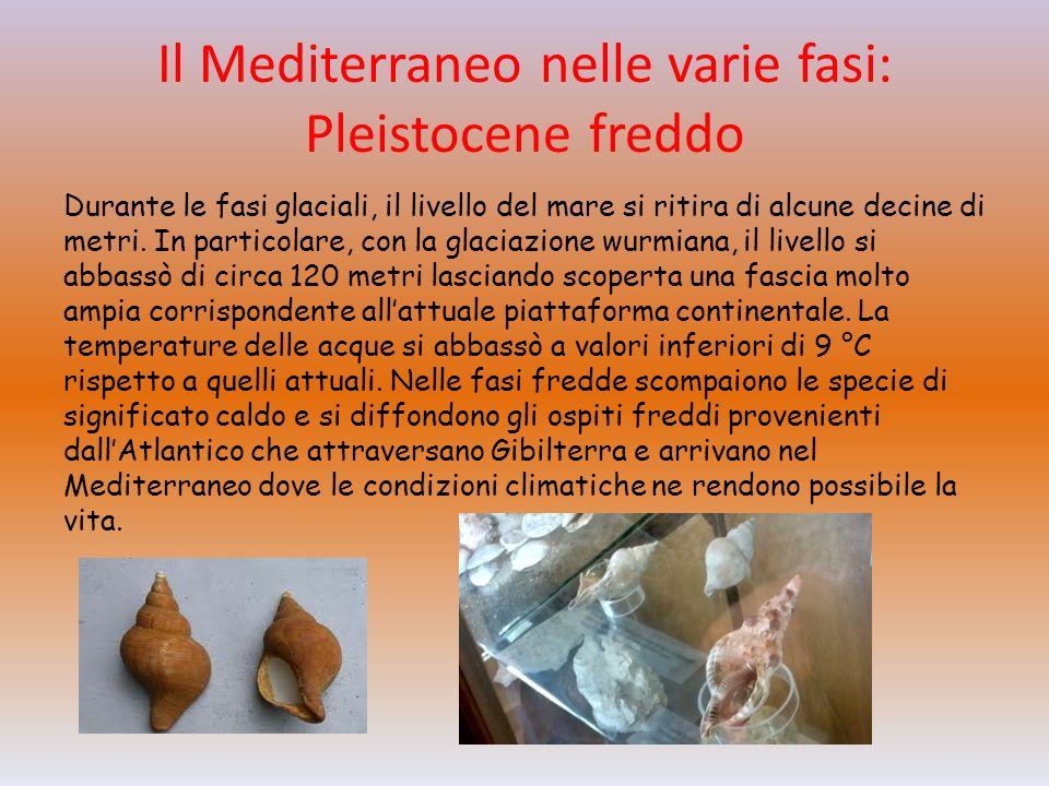 Il Mediterraneo nelle varie fasi: Pleistocene freddo Durante le fasi glaciali, il livello del mare si ritira di alcune decine di metri.