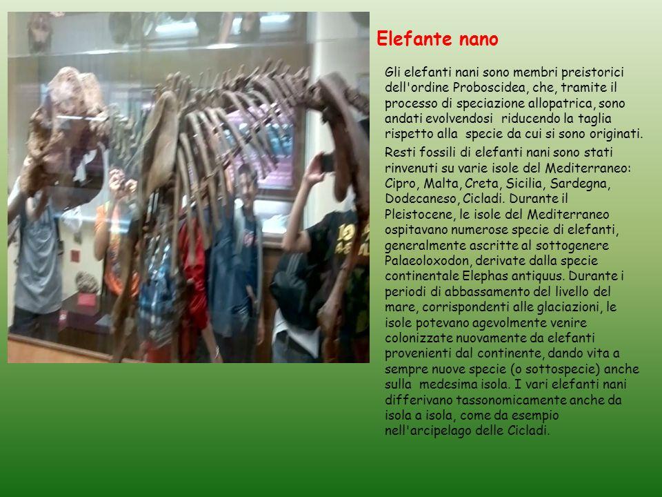 Elefante nano Gli elefanti nani sono membri preistorici dell ordine Proboscidea, che, tramite il processo di speciazione allopatrica, sono andati evolvendosi riducendo la taglia rispetto alla specie da cui si sono originati.