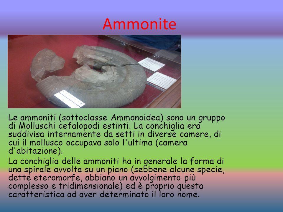 Ammonite Le ammoniti (sottoclasse Ammonoidea) sono un gruppo di Molluschi cefalopodi estinti.