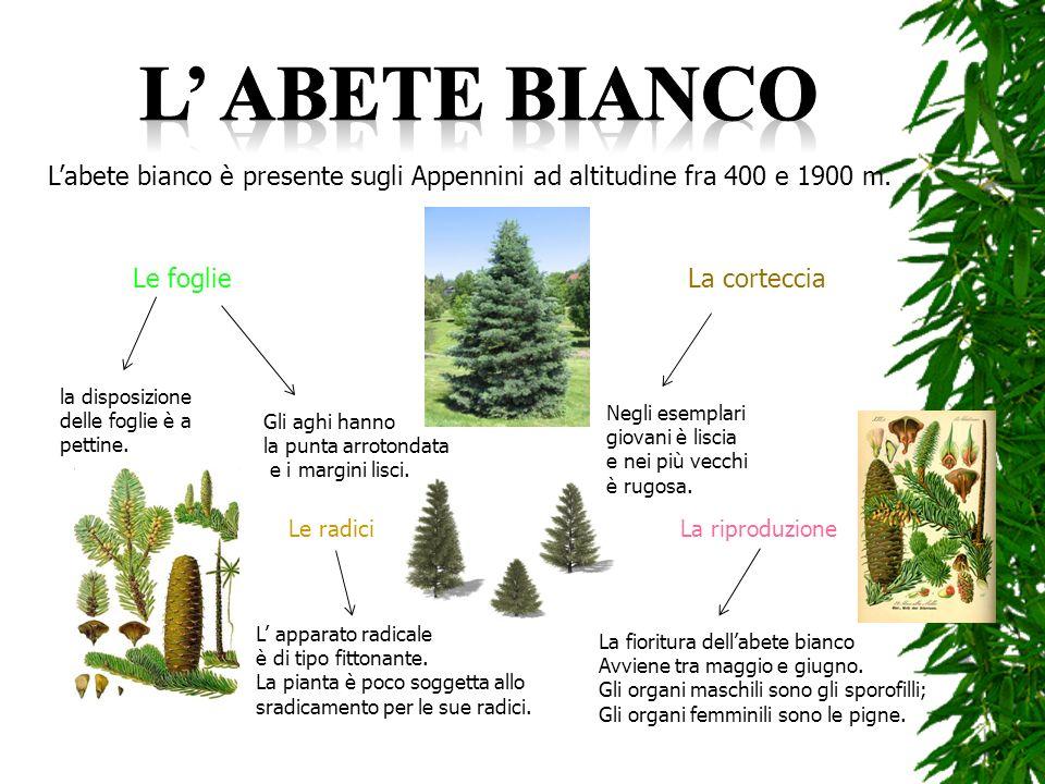 Labete bianco è presente sugli Appennini ad altitudine fra 400 e 1900 m. Le foglie la disposizione delle foglie è a pettine. Gli aghi hanno la punta a