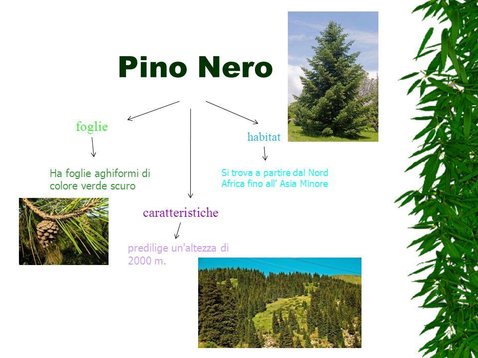 Pino Nero foglie Ha foglie aghiformi di colore verde scuro habitat Si trova a partire dal Nord Africa fino all Asia Minore caratteristiche predilige u