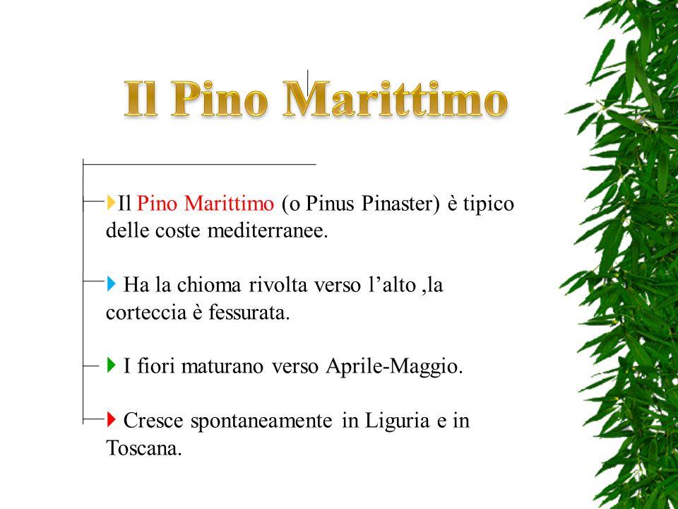 Il Pino Marittimo (o Pinus Pinaster) è tipico delle coste mediterranee. Ha la chioma rivolta verso lalto,la corteccia è fessurata. I fiori maturano ve