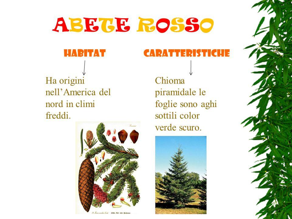 ABETE ROSSO HABITAT Ha origini nellAmerica del nord in climi freddi. caratteristiche Chioma piramidale le foglie sono aghi sottili color verde scuro.