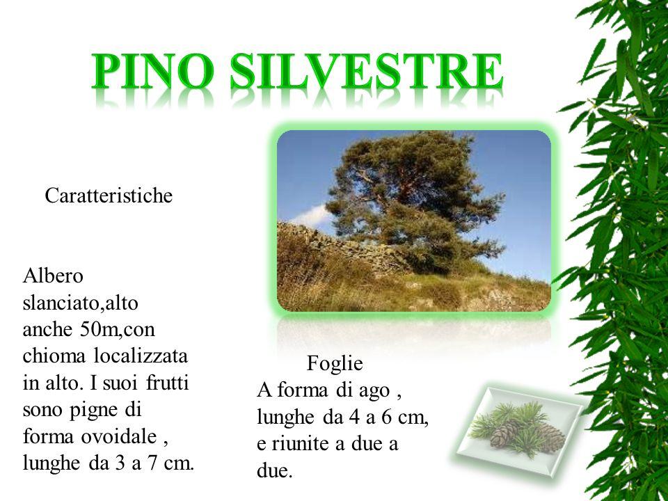 Caratteristiche Albero slanciato,alto anche 50m,con chioma localizzata in alto. I suoi frutti sono pigne di forma ovoidale, lunghe da 3 a 7 cm. Foglie