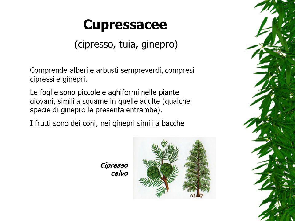Cupressacee (cipresso, tuia, ginepro) Comprende alberi e arbusti sempreverdi, compresi cipressi e ginepri. Le foglie sono piccole e aghiformi nelle pi