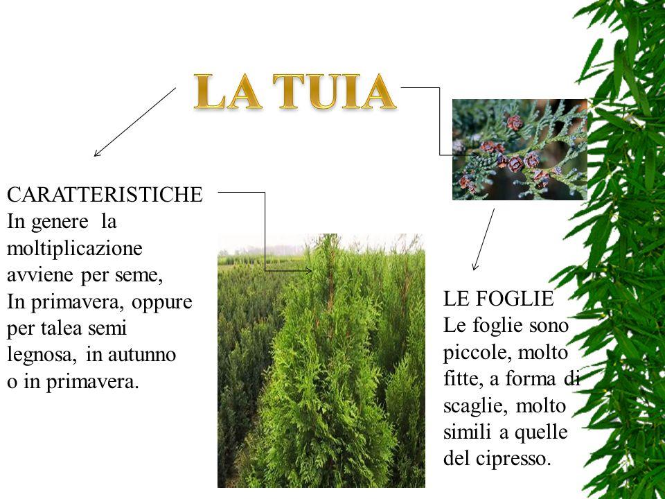 CARATTERISTICHE In genere la moltiplicazione avviene per seme, In primavera, oppure per talea semi legnosa, in autunno o in primavera. LE FOGLIE Le fo