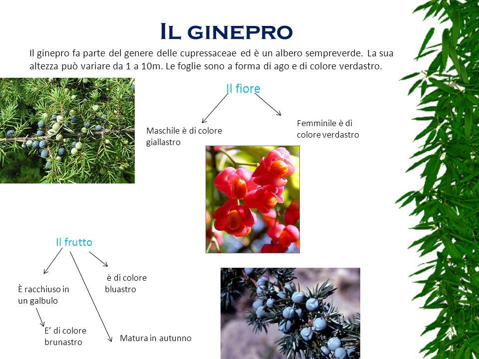 Il ginepro Il ginepro fa parte del genere delle cupressaceae ed è un albero sempreverde. La sua altezza può variare da 1 a 10m. Le foglie sono a forma
