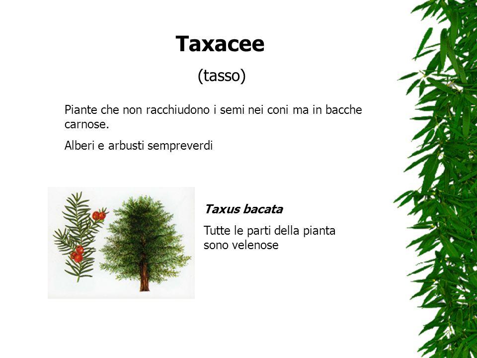 Taxacee (tasso) Piante che non racchiudono i semi nei coni ma in bacche carnose. Alberi e arbusti sempreverdi Taxus bacata Tutte le parti della pianta