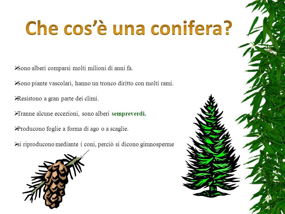 Sono alberi comparsi molti milioni di anni fa. Sono piante vascolari, hanno un tronco diritto con molti rami. Resistono a gran parte dei climi. Tranne