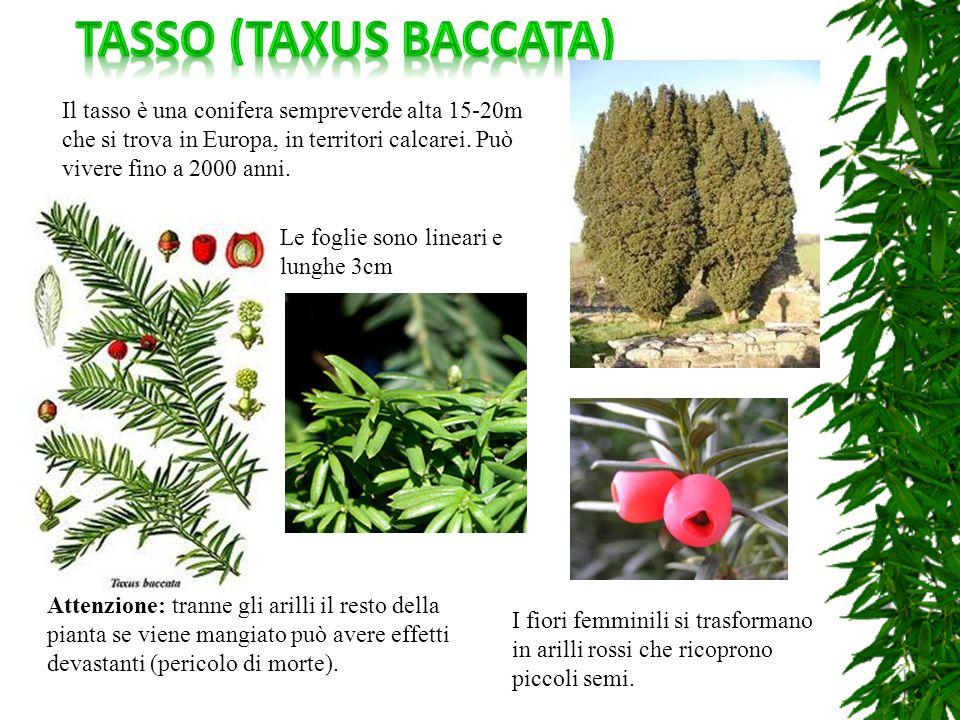 Il tasso è una conifera sempreverde alta 15-20m che si trova in Europa, in territori calcarei. Può vivere fino a 2000 anni. I fiori femminili si trasf