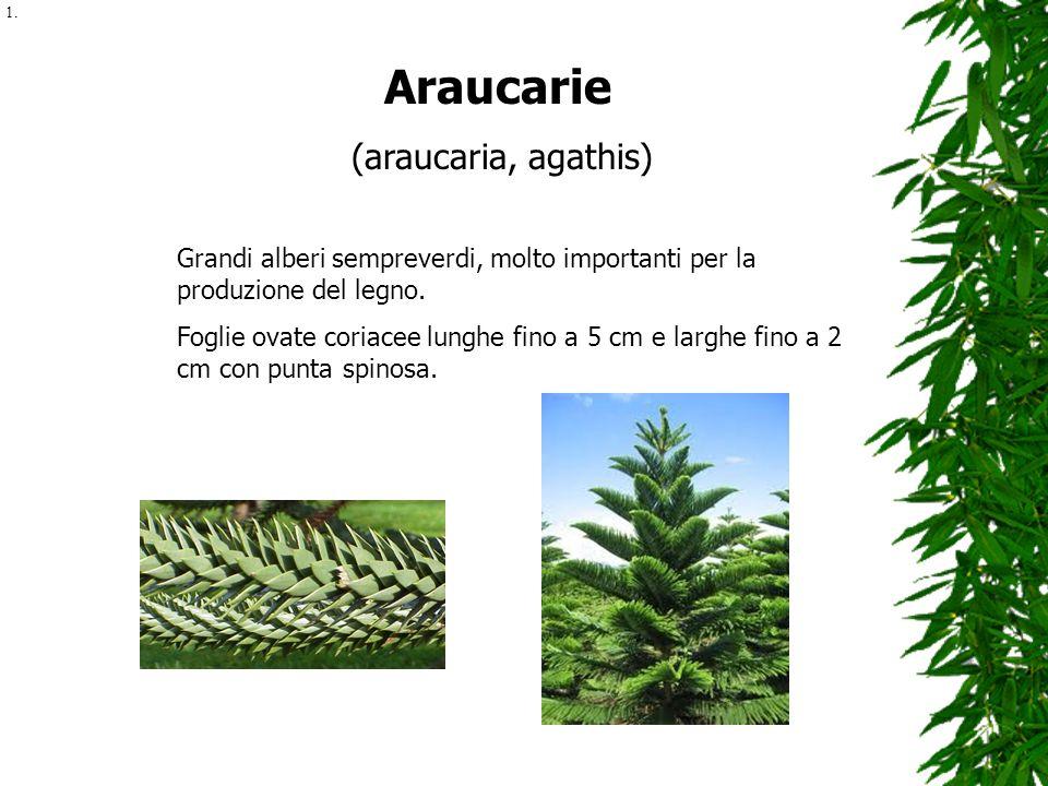 Araucarie (araucaria, agathis) Grandi alberi sempreverdi, molto importanti per la produzione del legno. Foglie ovate coriacee lunghe fino a 5 cm e lar