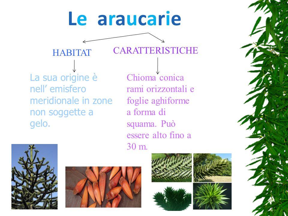 Le araucarie HABITAT La sua origine è nell emisfero meridionale in zone non soggette a gelo. CARATTERISTICHE Chioma conica rami orizzontali e foglie a