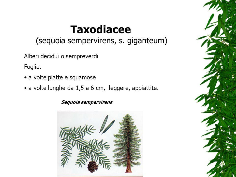 Taxodiacee (sequoia sempervirens, s. giganteum) Alberi decidui o sempreverdi Foglie: a volte piatte e squamose a volte lunghe da 1,5 a 6 cm, leggere,