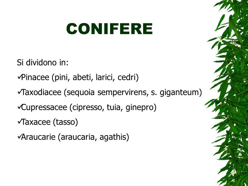 CONIFERE Si dividono in: Pinacee (pini, abeti, larici, cedri) Taxodiacee (sequoia sempervirens, s. giganteum) Cupressacee (cipresso, tuia, ginepro) Ta
