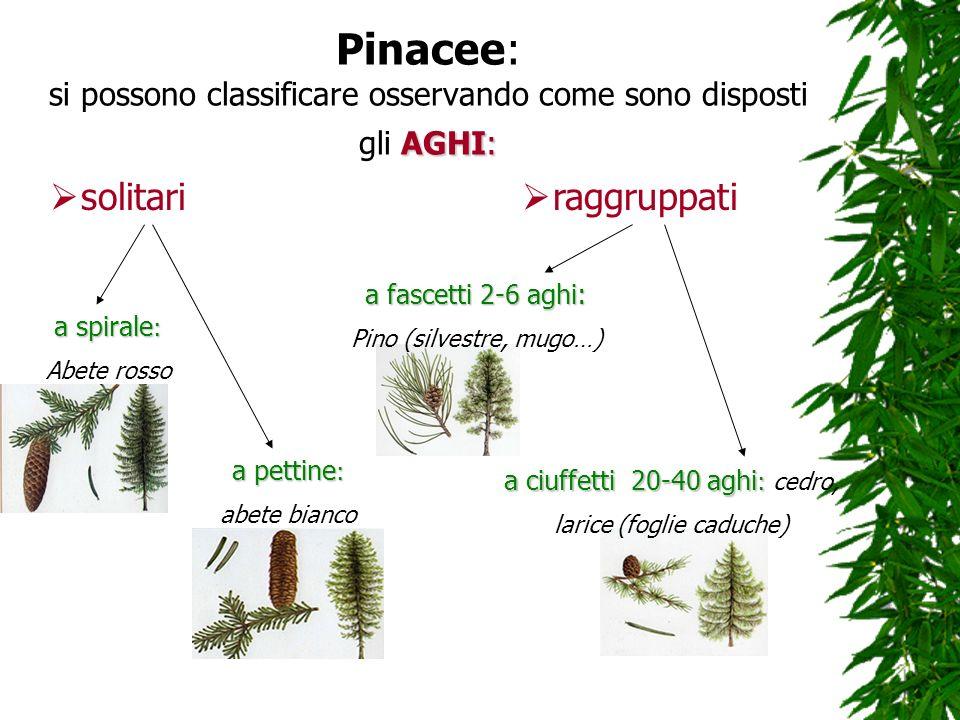 AGHI: Pinacee: si possono classificare osservando come sono disposti gli AGHI: solitari raggruppati a spirale : Abete rosso a pettine : abete bianco a