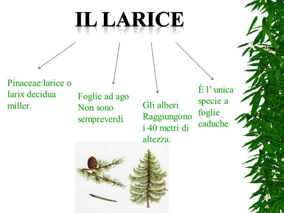 Il tasso è una conifera sempreverde alta 15-20m che si trova in Europa, in territori calcarei.