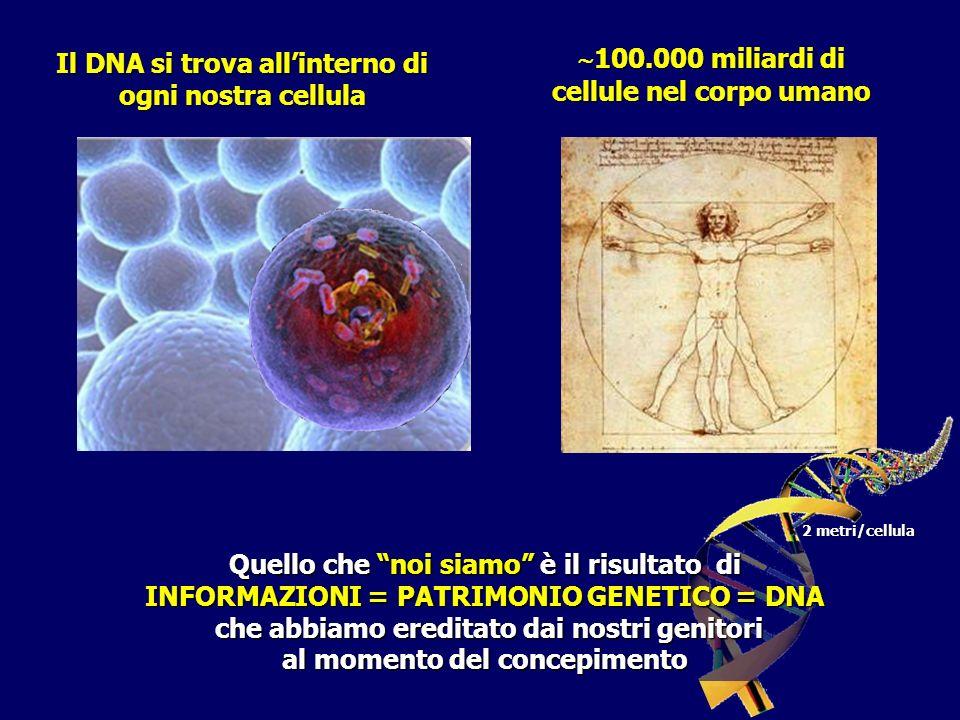 Il DNA si trova allinterno di ogni nostra cellula 100.000 miliardi di cellule nel corpo umano 100.000 miliardi di cellule nel corpo umano Quello che noi siamo è il risultato di INFORMAZIONI = PATRIMONIO GENETICO = DNA che abbiamo ereditato dai nostri genitori che abbiamo ereditato dai nostri genitori al momento del concepimento 2 metri/cellula