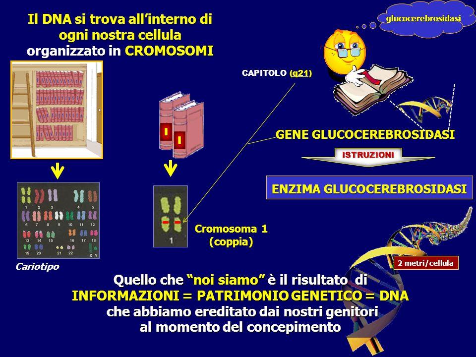 Quello che noi siamo è il risultato di INFORMAZIONI = PATRIMONIO GENETICO = DNA che abbiamo ereditato dai nostri genitori che abbiamo ereditato dai nostri genitori al momento del concepimento Cromosoma 1 (coppia) Il DNA si trova allinterno di ogni nostra cellula organizzato in CROMOSOMI Cariotipo 2 metri/cellula GENE GLUCOCEREBROSIDASI ENZIMA GLUCOCEREBROSIDASI ISTRUZIONI I I glucocerebrosidasi CAPITOLO (q21)