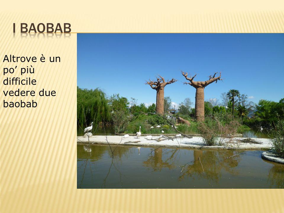 Altrove è un po più difficile vedere due baobab