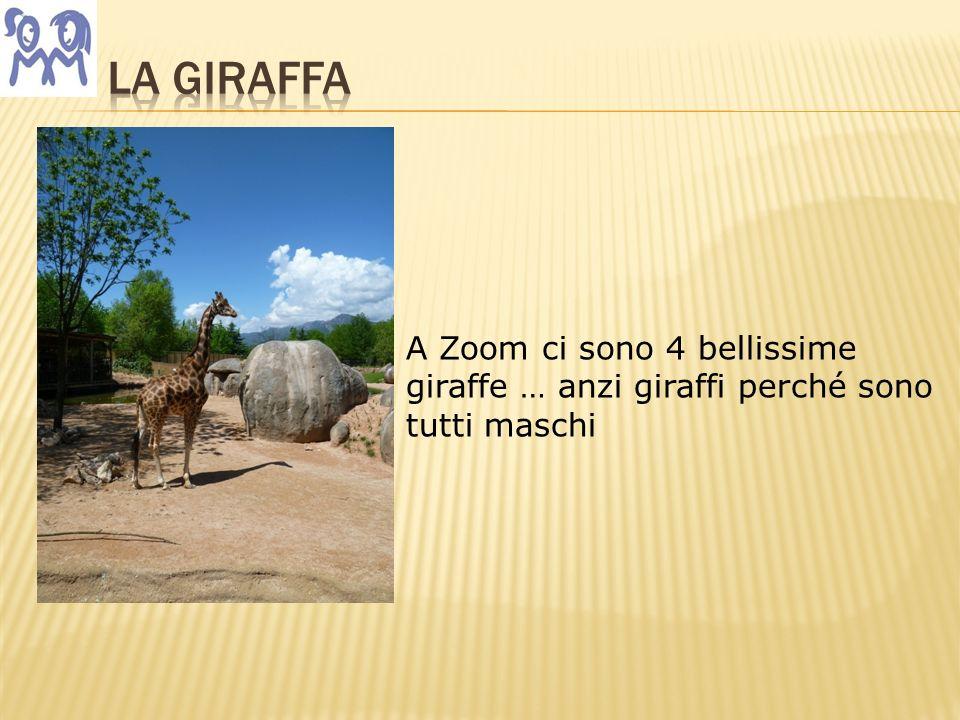 A Zoom ci sono 4 bellissime giraffe … anzi giraffi perché sono tutti maschi